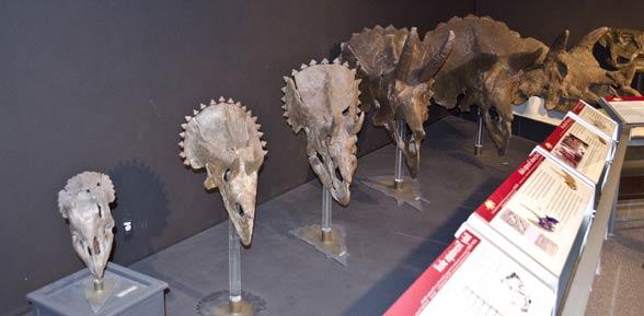 Ceratopsy (Ceratopsia)