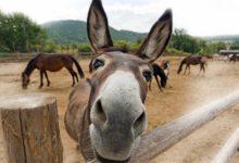 Photo of Muł – krzyżówka osła z koniem