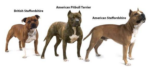 Pitbull amerykański, amerykański pitbulterier