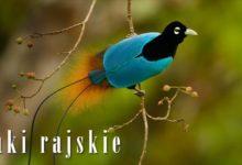 Photo of Cudowronki czyli rajskie ptaki
