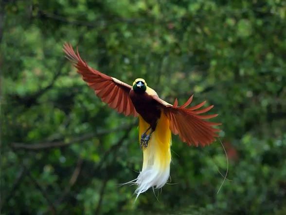Cudowronki, ptaki rajskie (Paradisaeidae).