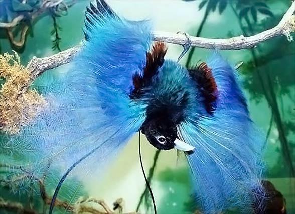 Cudowronki, ptaki rajskie (Paradisaeidae)