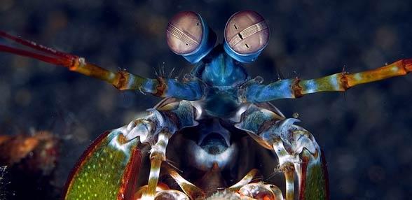 Ustonogie, ustonogi (Stomatopoda)