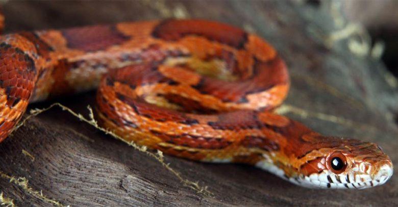 Photo of Wąż zbożowy (Pantherophis guttatus)