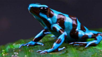 Photo of Drzewołazy – zabójczo piękne żaby