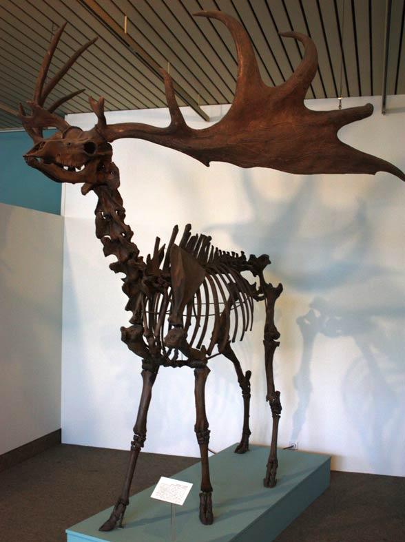 Jeleń olbrzymi, łoś irlandzki (Megaloceros giganteus)