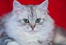 Photo of Kot brytyjski długowłosy