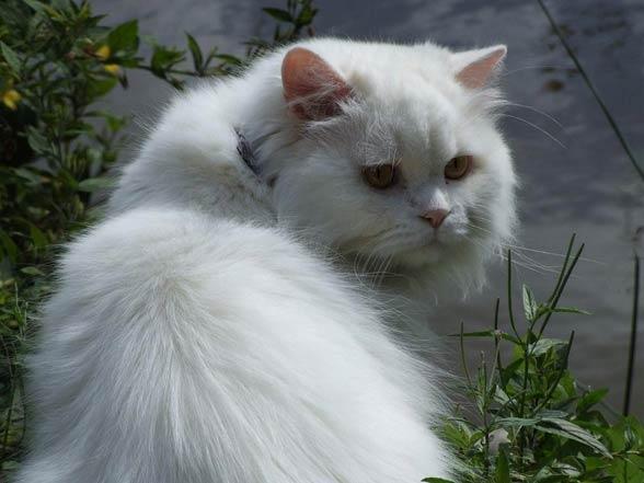 Kot brytyjski dlugowłosy