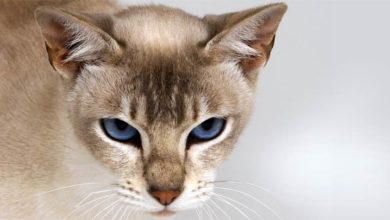 Photo of Kot tonkijski – aktywny i inteligentny