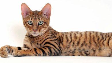 "Photo of Kot Toyger – ""kieszonkowy tygrys"""