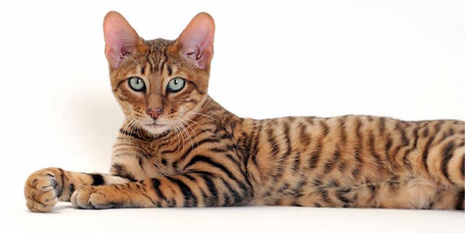 Kot Toyger Kieszonkowy Tygrys Dinoanimalspl