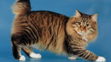 Photo of Cymric – długowłosy kot bez ogona