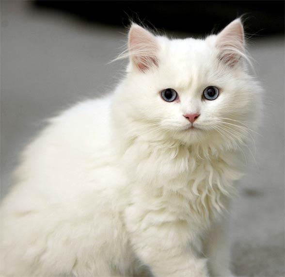 Kot Cymric