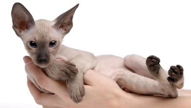 Photo of Kot peterbald –  petersburski sfinks