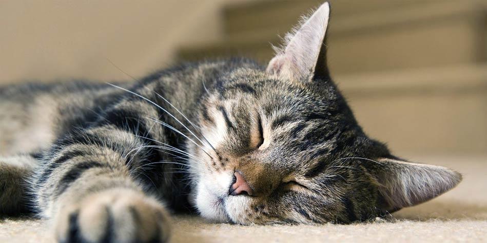Kot Pręgowany Dinoanimalspl