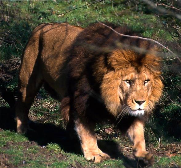 Lew berberyjski