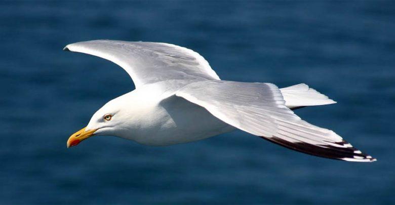 Photo of Mewy (Laridae) – dusze marynarzy