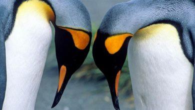 Photo of Pingwin królewski (Aptenodytes patagonicus)