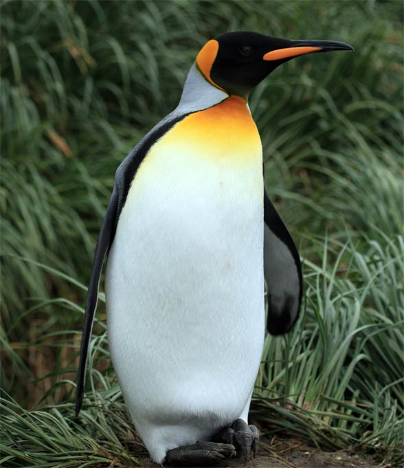 Pingwin królewski (Aptenodytes patagonicus)