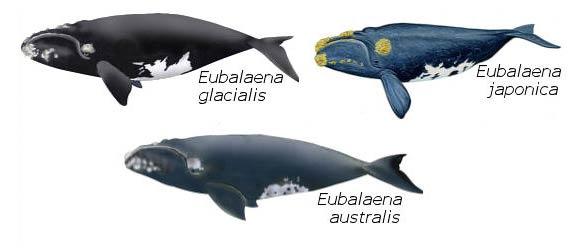 Waleń japoński (Eubalaena japonica)
