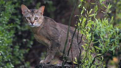 Photo of Kot chausie