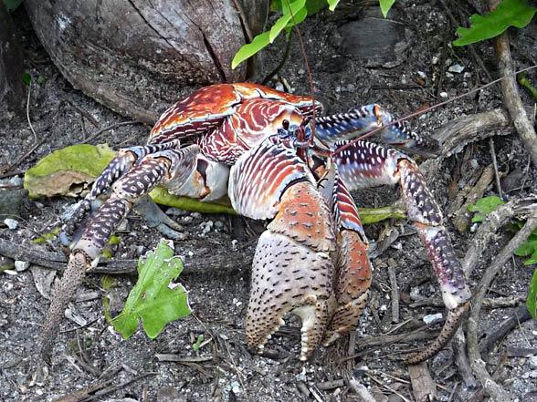Krab palmowy (Birgus latro)