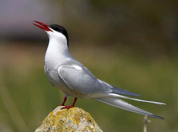 Rybitwy (Sternidae)