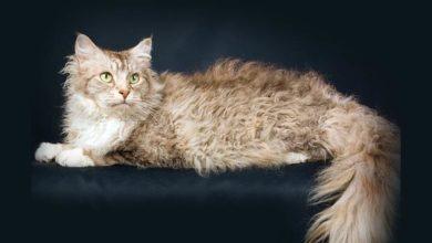 Photo of LaPerm – kot z trwałą