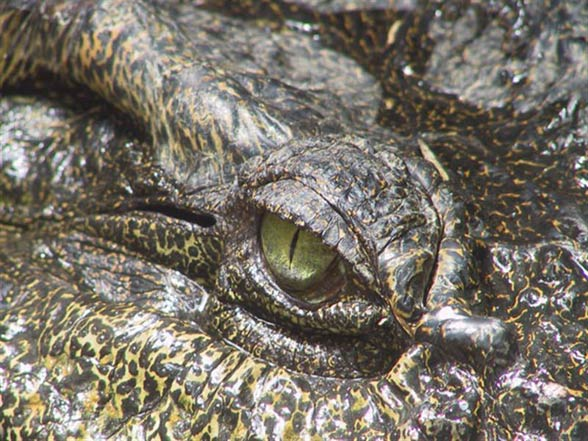 Krokodyl syjamski (Crocodylus siamensis)