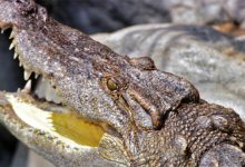 Photo of Krokodyl syjamski (Crocodylus siamensis)