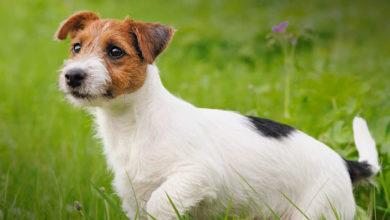 Photo of Jack Russell terrier – charyzmatyczny pies myśliwski