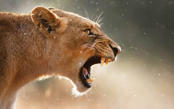 Lew z Tsavo
