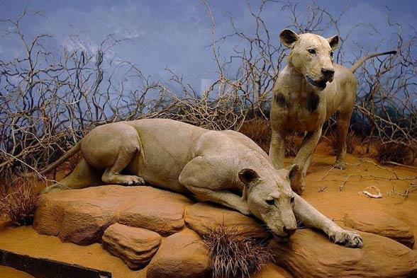 Lwy z Tsavo