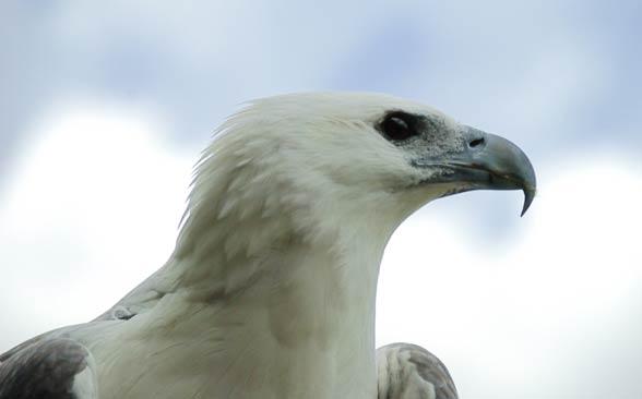 Bielik białobrzuchy (Haliaeetus leucogaster)