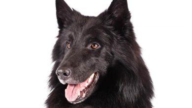 Photo of Groenendael – pies odważny i niezależny