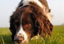 Photo of Springer spaniel angielski