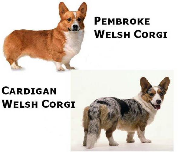 Welsh Corgi Pembroke oraz Welsh Corgi Cardigan
