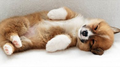 Photo of Welsh Corgi Pembroke