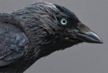 Photo of Kawka zwyczajna – zaradny ptak