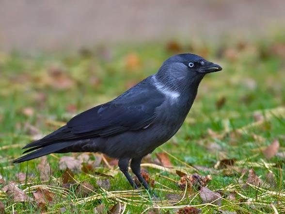 Kawka, kawka zwyczajna (Corvus monedula)