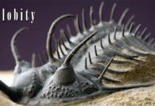 Photo of Trylobity (Trilobita)