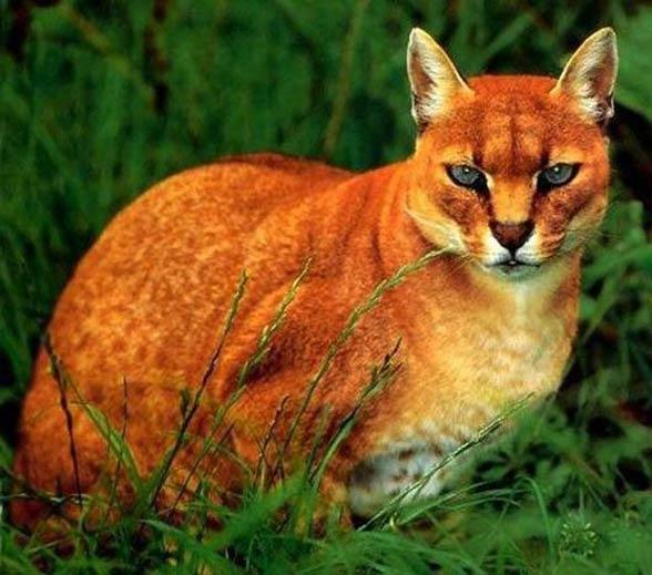 Złotokot afrykański, kot złoty, afrykański kot złocisty, egipski kot złocisty