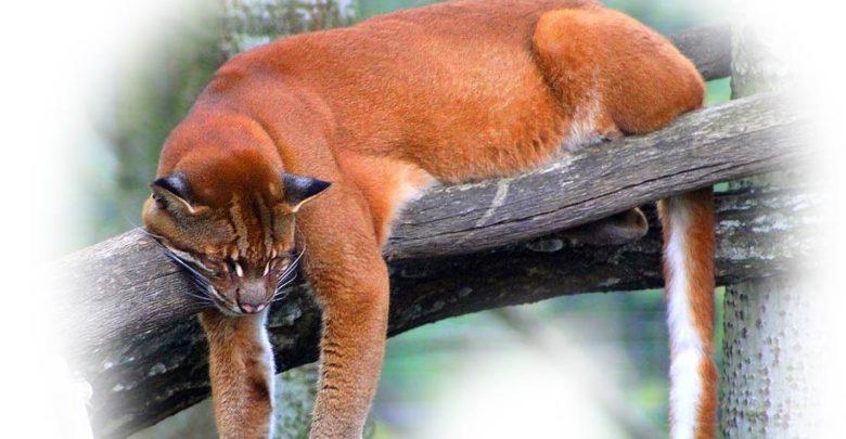 Photo of Afrykański kot złocisty – brat lamparta