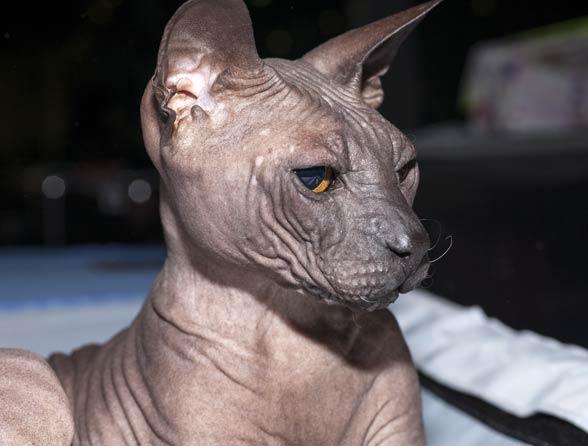 Kot doński sfinks