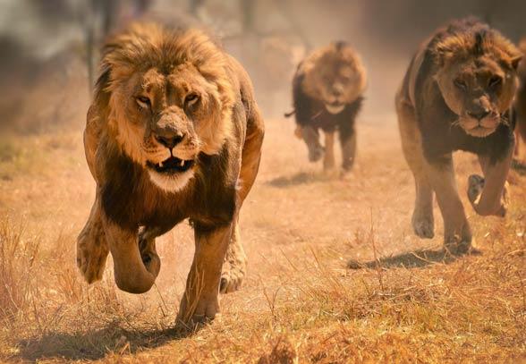 Lwy ludojady