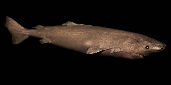 Rekin polarny (Somniosus microcephalus)