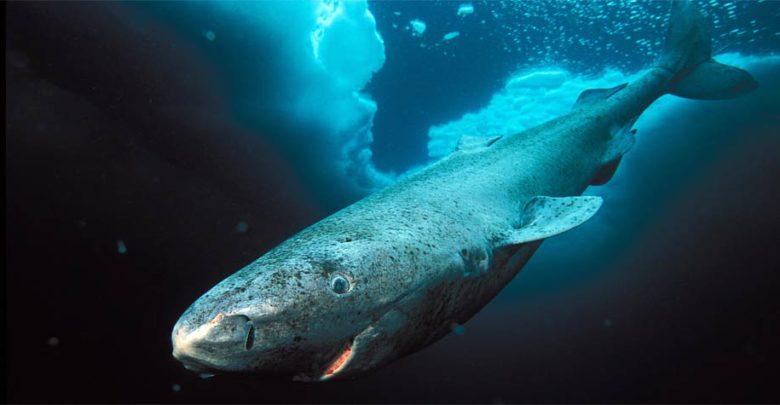 Photo of Rekin polarny, grenlandzki – długowieczny rekin