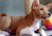 Photo of Basenji – pies z charakterem