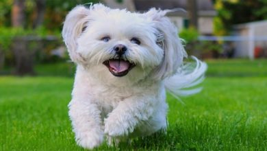 Photo of Shih tzu – figlarny psiak