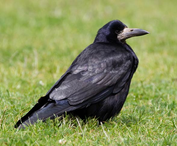 Gawron, gapa (Corvus frugilegus)
